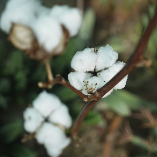 Mature cotton bolls in the fields. close up image. Cotton plant bud